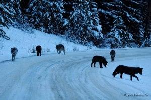 Family portrait wolves